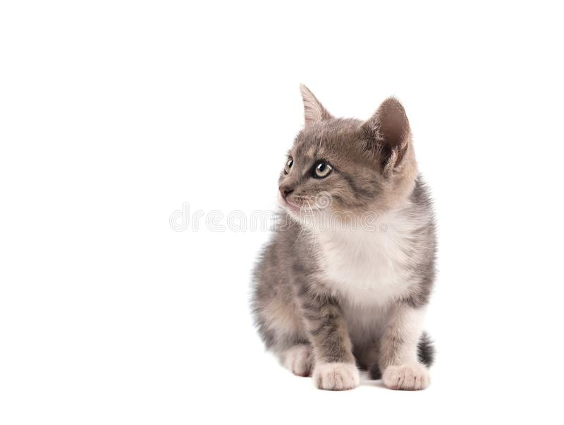 Gato cinzento isolado em um fundo branco Retrato de um gatinho bonito imagem de stock