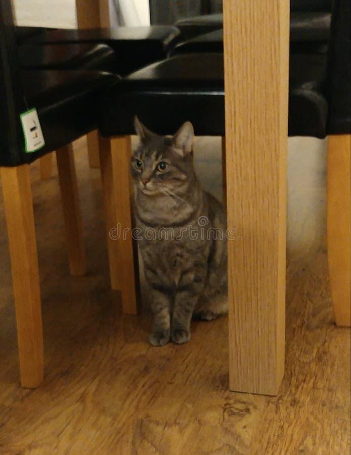 Gato cinzento lindo largamente eyed foto de stock