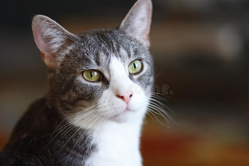 Gato cinzento listrado do híbrido com um nariz cor-de-rosa fotos de stock royalty free