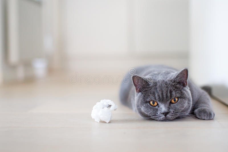 Gato cinzento que coloca no assoalho fotos de stock royalty free