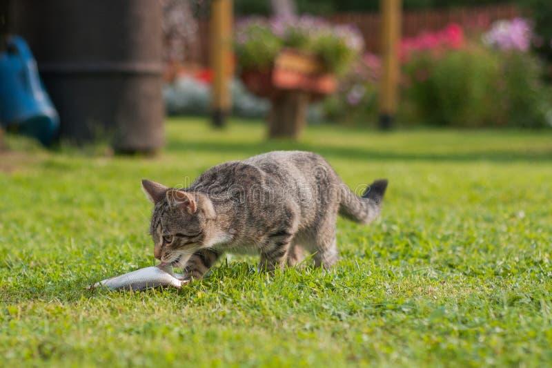 Gato cinzento que come peixes na grama fotos de stock