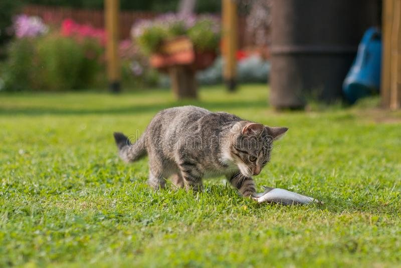 Gato cinzento que come peixes na grama imagem de stock royalty free