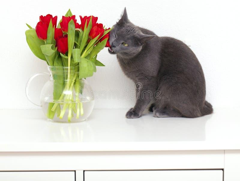 Gato cinzento que come tulips vermelhos imagem de stock