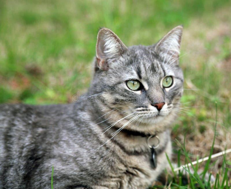 Gato cinzento que descansa no gramado imagem de stock