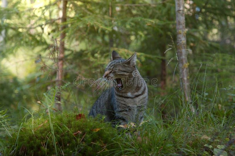Gato cinzento que joga na floresta e que boceja fotografia de stock royalty free