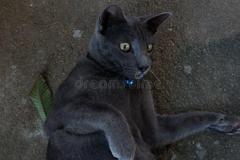 Gato cinzento que olha esta maneira imagem de stock