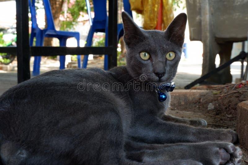 Gato cinzento que olha esta maneira foto de stock