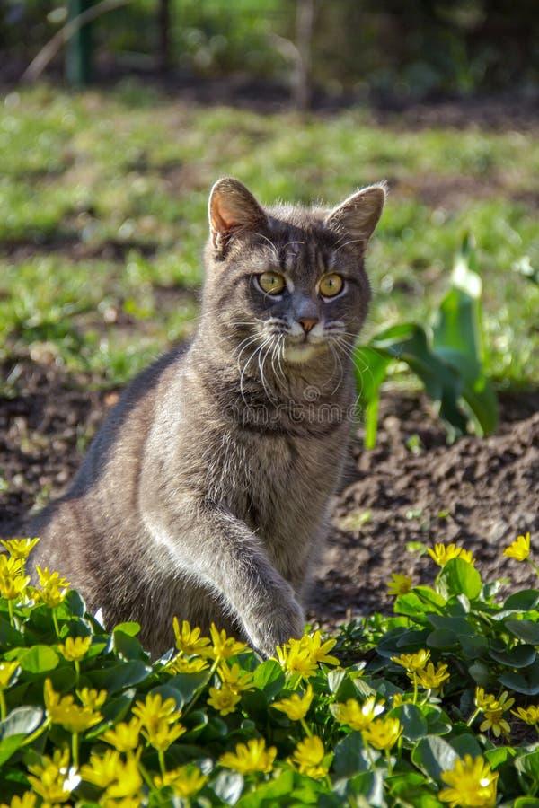Gato cinzento que senta-se nas flores Gato no jardim imagens de stock