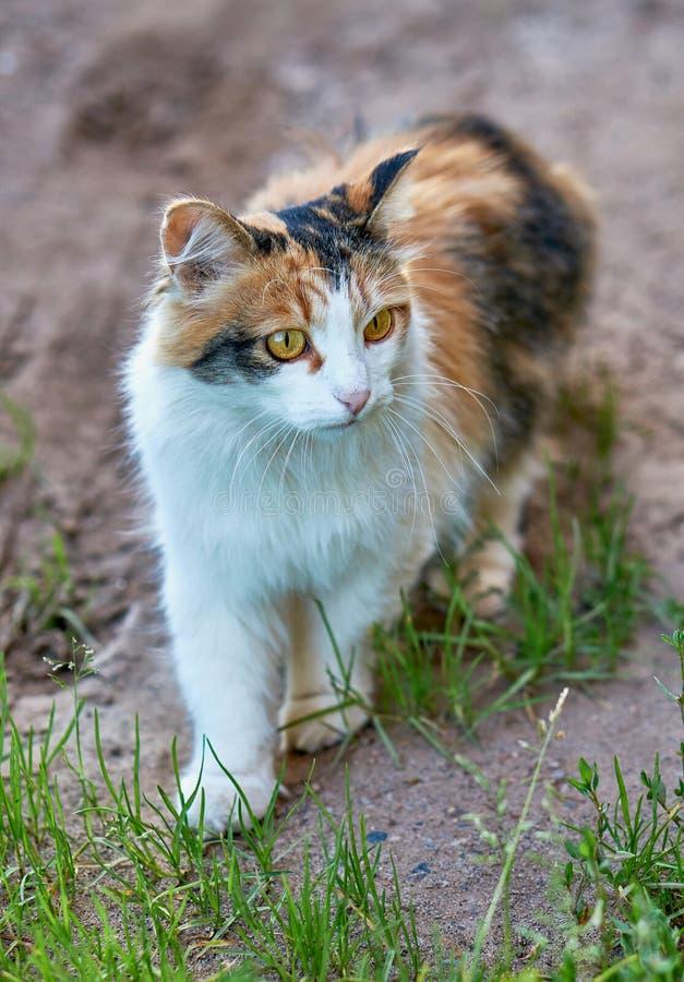 Gato colorido pequeno e bonito com olhos amarelos brilhantes que anda no parque imagem de stock royalty free