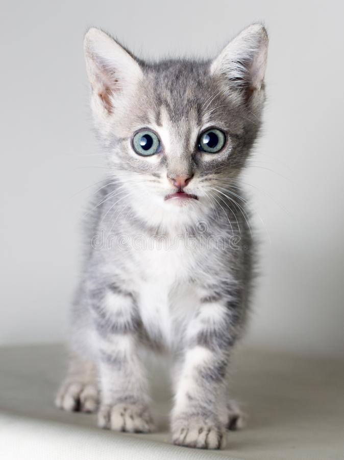 Gato común gris que mira la cámara aislada en bakcground gris imagen de archivo libre de regalías