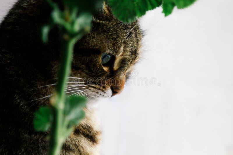 Gato com close-up bonito dos olhos verdes em um fundo branco ao lado de um gerânio do houseplant fotografia de stock royalty free
