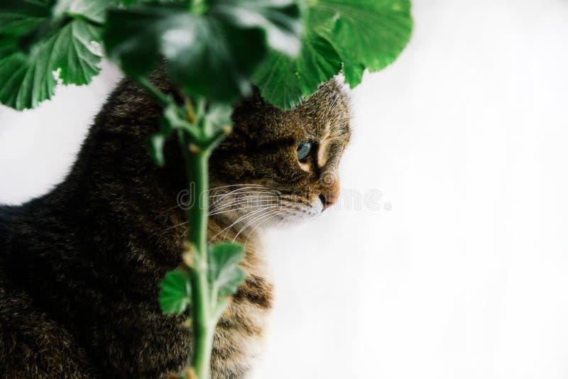 Gato com close-up bonito dos olhos verdes em um fundo branco ao lado de um gerânio do houseplant fotos de stock