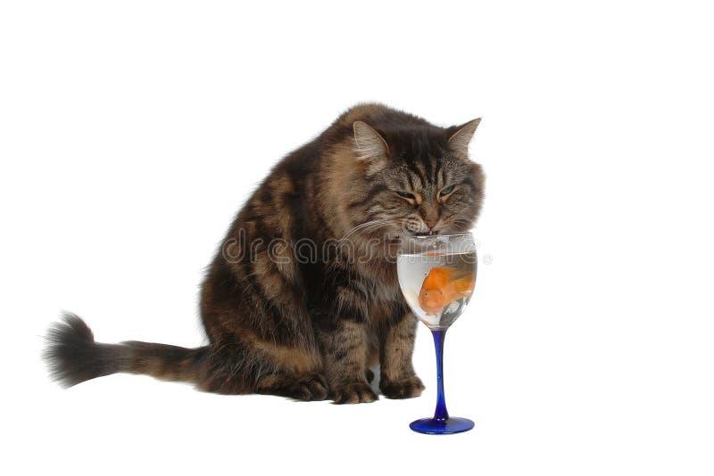 Gato com fome 3 foto de stock royalty free