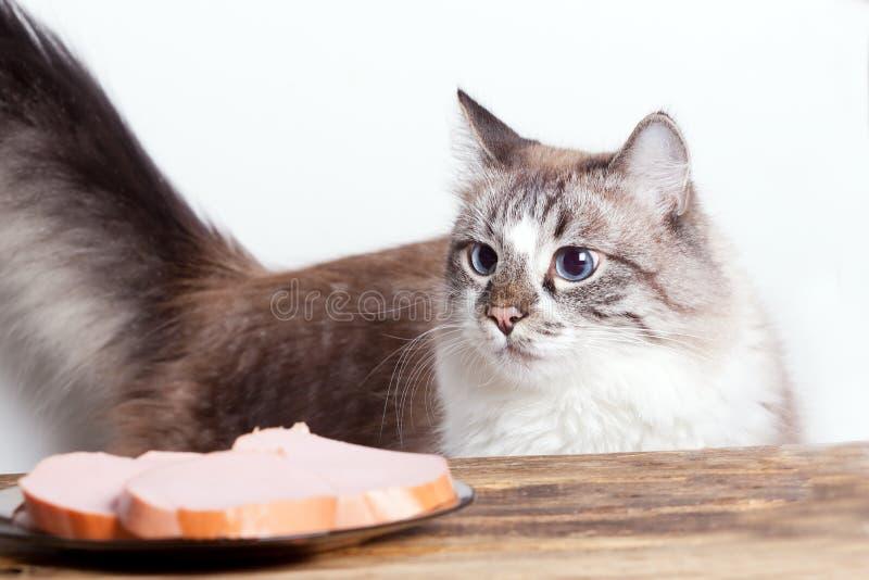 Gato com fome novo fotografia de stock