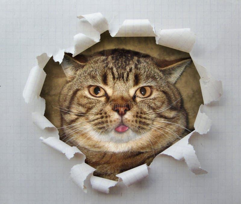 Gato com língua 1 foto de stock royalty free