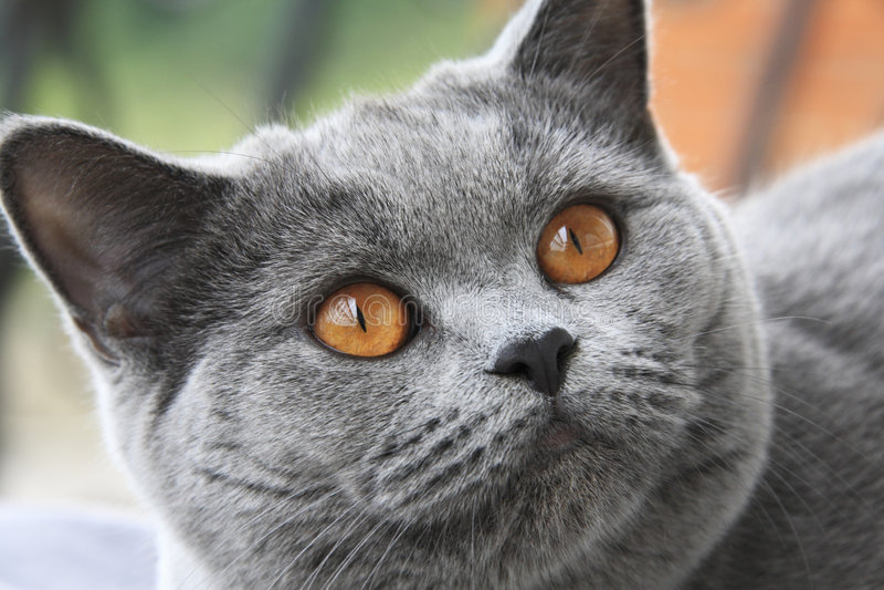 Gato com olhos alaranjados, shorthair azul britânico fotos de stock royalty free