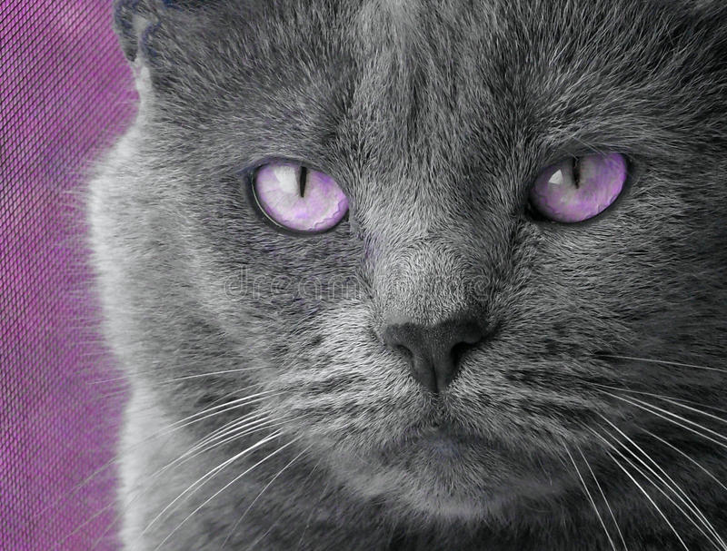 Gato com olhos roxos imagens de stock