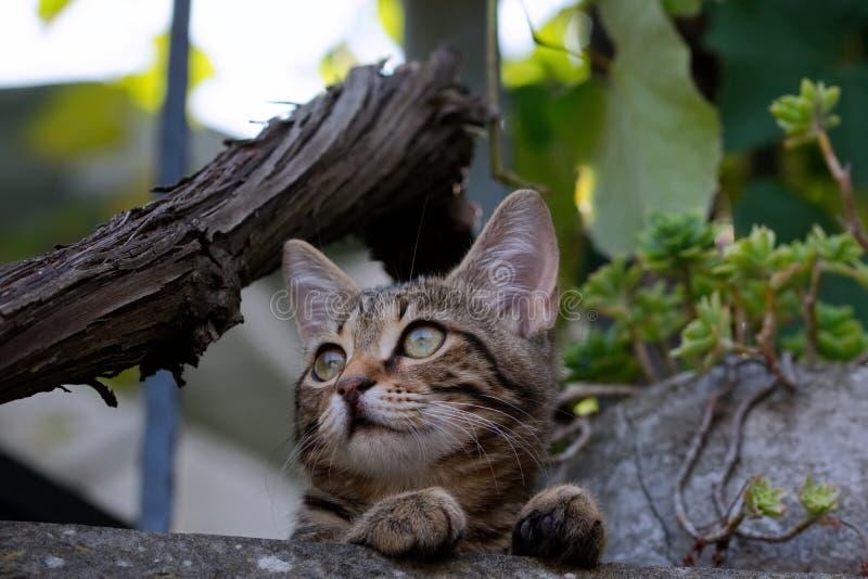 Gato com os olhos verdes que olham na distância imagem de stock