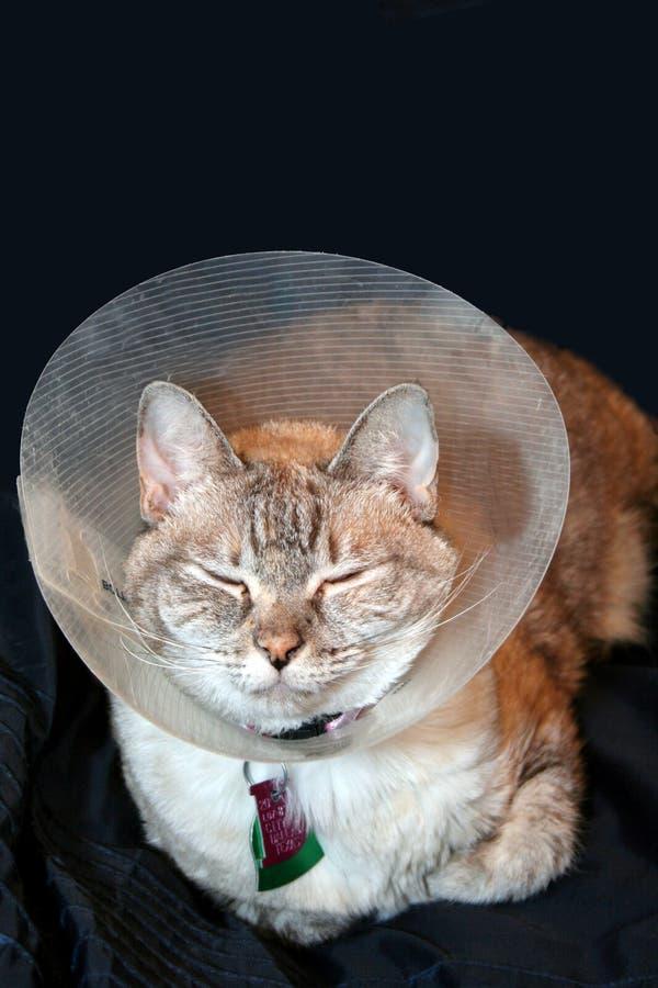 Gato con el collar del cono fotos de archivo
