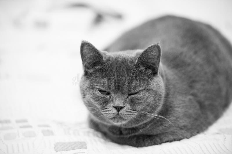 Gato con el ojo cerrado El gato británico del shorthair se relaja en la cubierta Animal doméstico lindo con la capa gris Gatito e fotografía de archivo