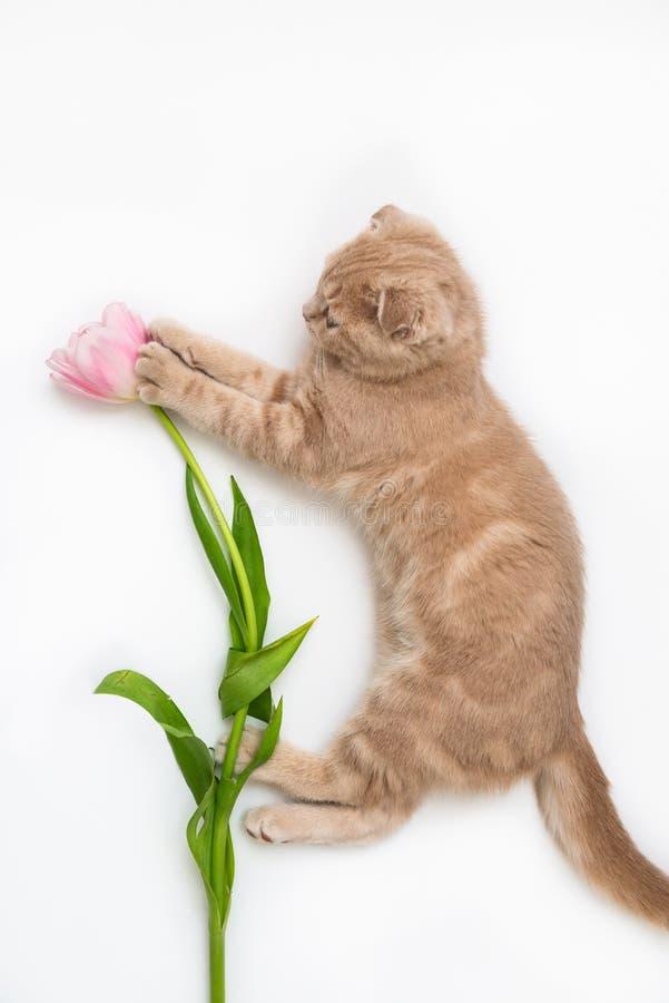 Gato con en un tulipán en las patas aisladas en el fondo blanco Concepto creativo de la tarjeta del día de fiesta, bandera de la  foto de archivo libre de regalías