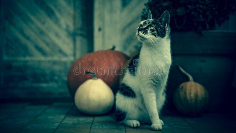 Gato con la pierna amputada que se sienta delante de la puerta principal adornada con las calabazas para Halloween Fondo fantasma fotos de archivo
