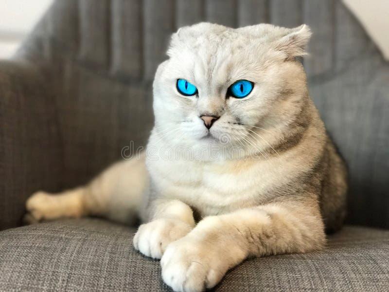 Gato con los ojos azules fotografía de archivo