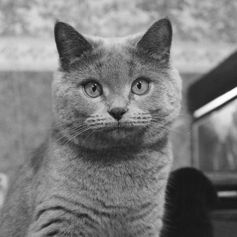 Gato con los ojos hermosos en el sofá imágenes de archivo libres de regalías
