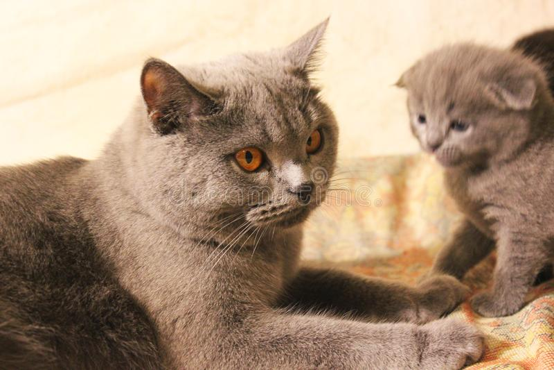 Gato con los ojos hermosos en el sofá imagenes de archivo