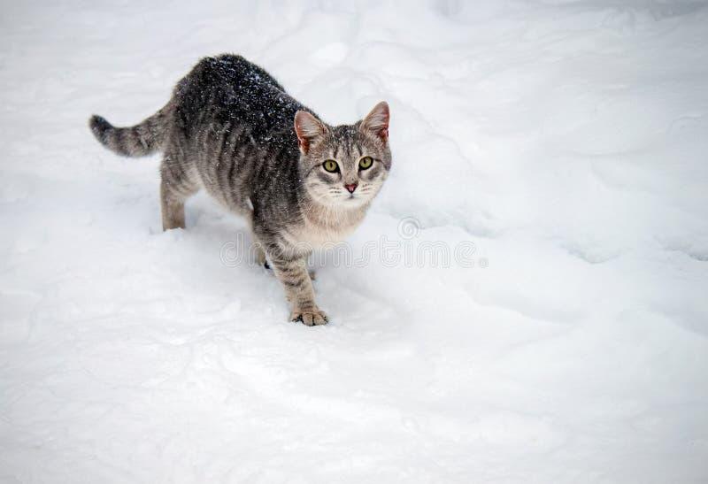 Gato con los ojos verdes que camina en la nieve imágenes de archivo libres de regalías
