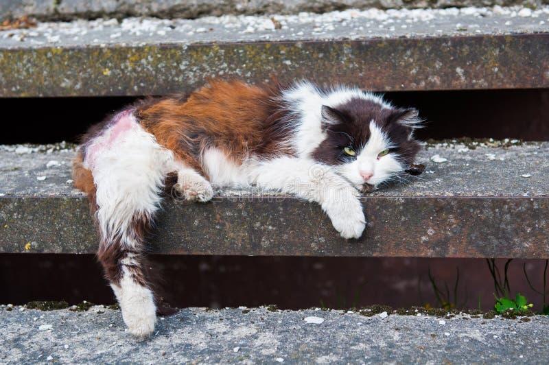 Gato con una pata enferma imagenes de archivo