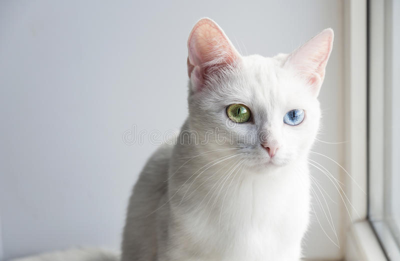Gato consideravelmente branco com os olhos coloridos diferentes fotografia de stock