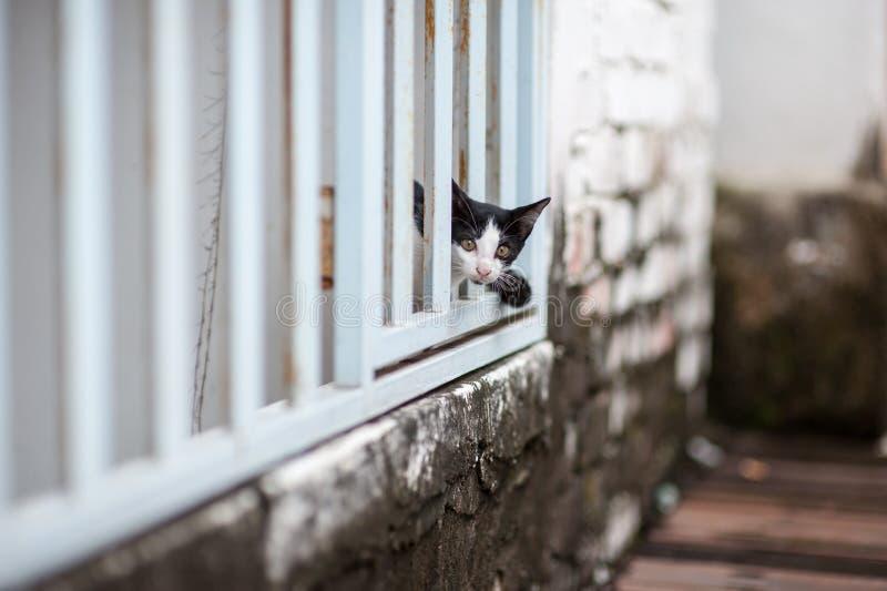 Gato curioso que espreita fora da parede de madeira branca fotografia de stock royalty free