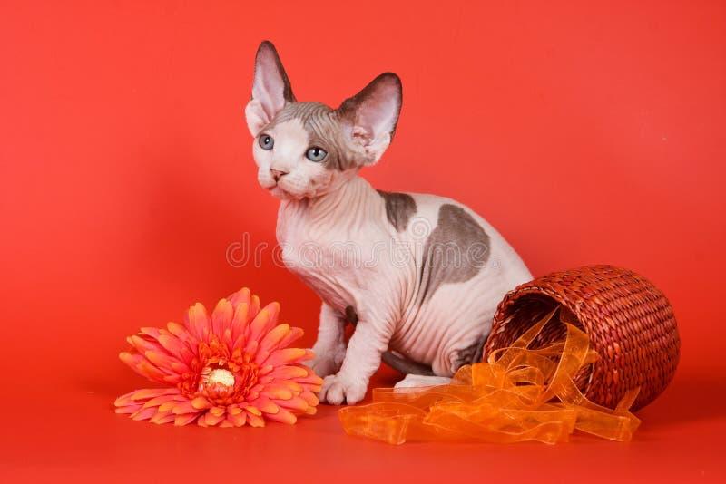 Gato da esfinge do gatinho calvo e flores do gerbera fotos de stock royalty free