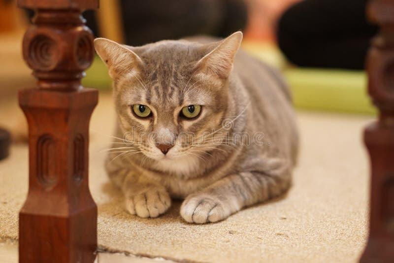 Gato da gordura de Cuty foto de stock