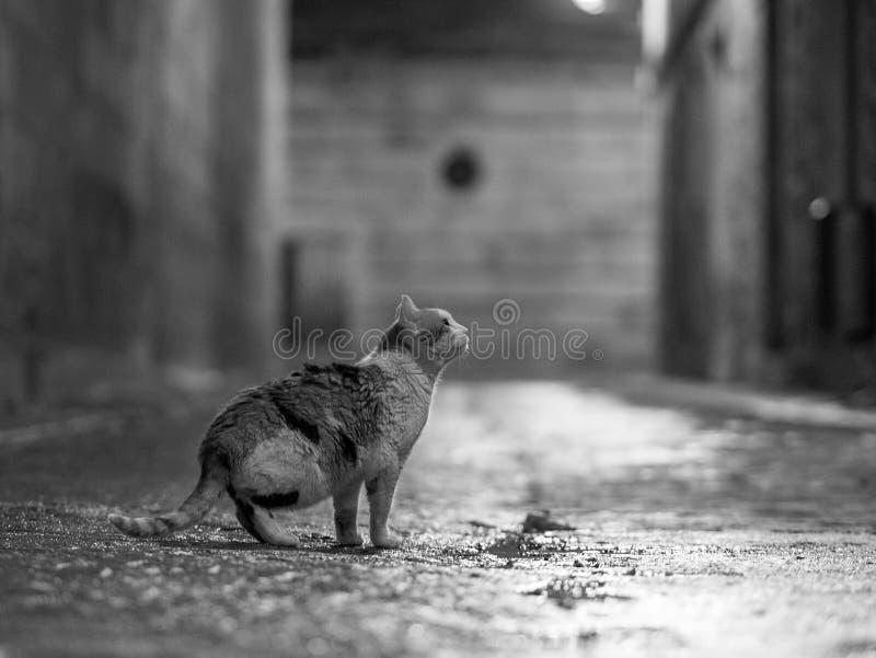 Gato da rua em Toledo na noite fotografia de stock royalty free