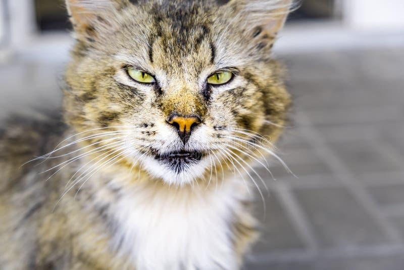 Gato da rua que é vesgo seriamente na câmera imagem de stock