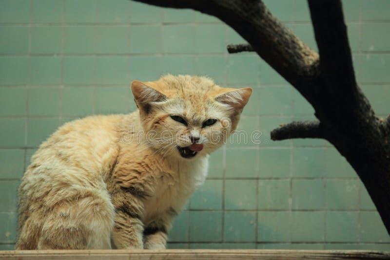 Gato de arena árabe fotos de archivo