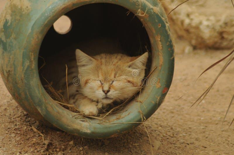 Gato de arena fotos de archivo