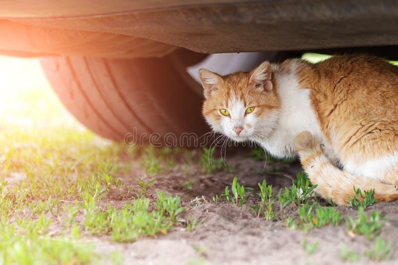 Gato de gato atigrado anaranjado hermoso que duerme en la tierra debajo del coche el d?a de verano Peligro del golpe por el coche foto de archivo libre de regalías