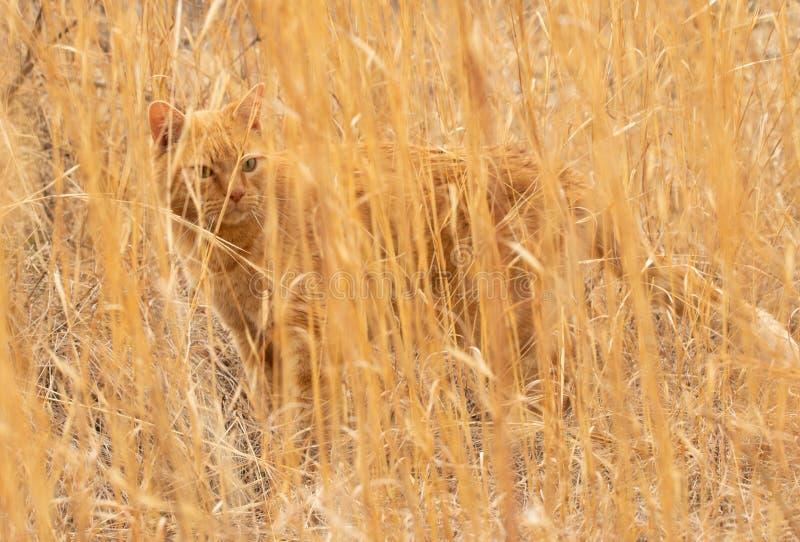 Gato de gato atigrado del jengibre camuflado perfectamente en un campo de la hierba de pradera seca alta imagenes de archivo