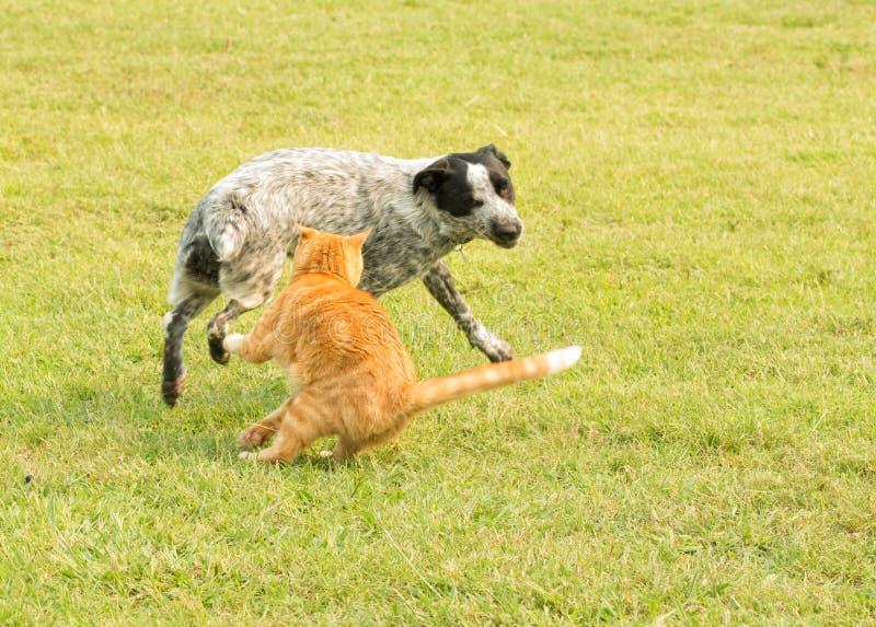 Gato de gato atigrado del jengibre que golpea con fuerza en un perro manchado desagradable imagen de archivo