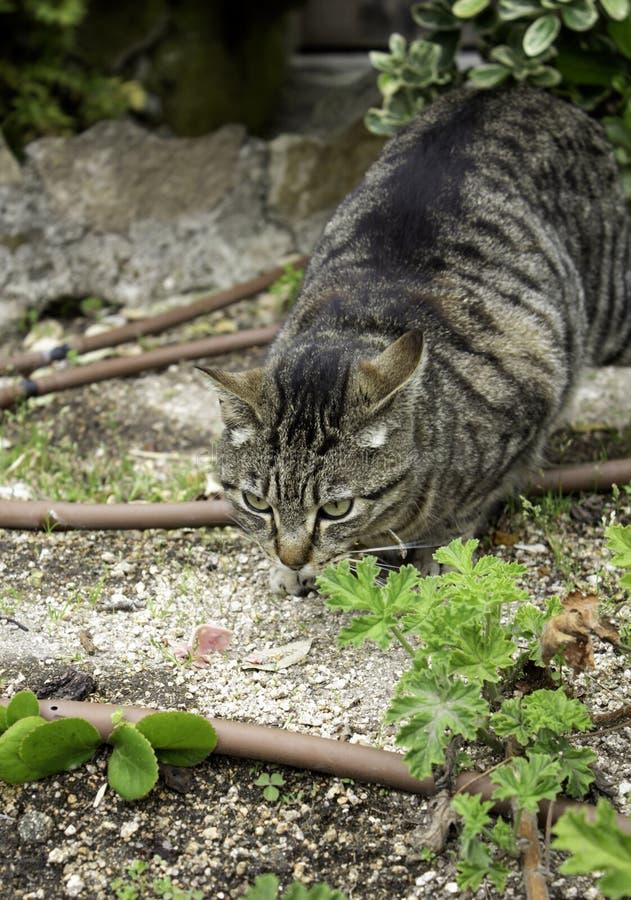 Gato de gato atigrado en calle fotografía de archivo