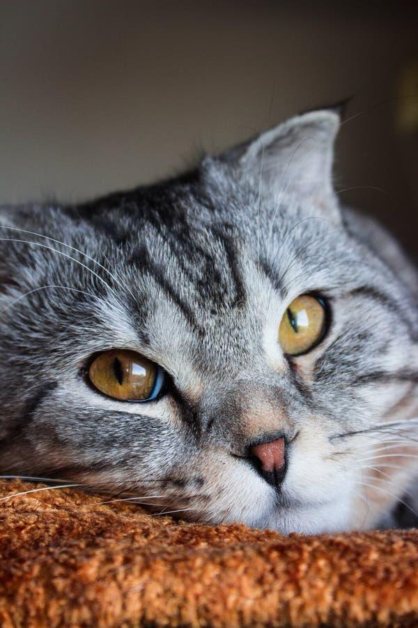 Gato de gato atigrado gris del doblez escocés hermoso con las rayas blancas imágenes de archivo libres de regalías