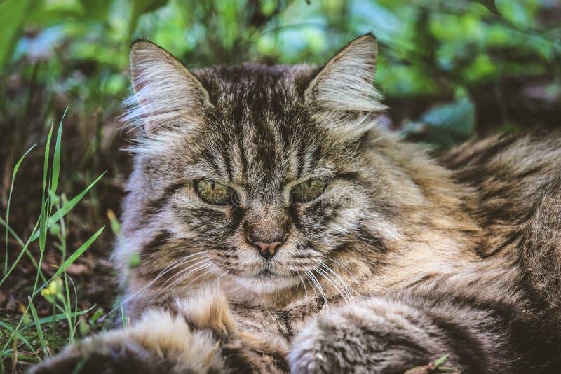 Gato de gato atigrado hermoso fuera de la mentira en hierba Gato al aire libre El detalle de gatos dirige Animales dom?sticos lin imágenes de archivo libres de regalías