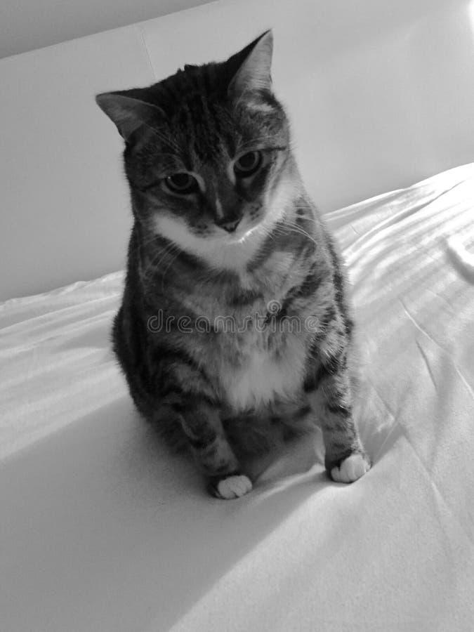 Gato de gato atigrado mayor blanco y negro imagen de archivo