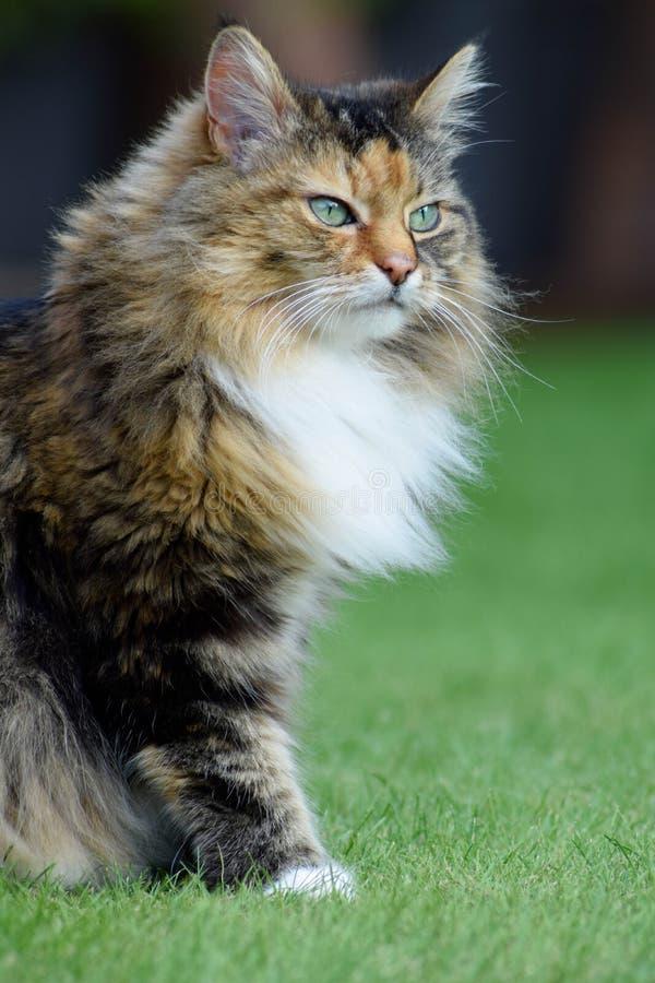 Gato de gato atigrado mullido fotografía de archivo libre de regalías