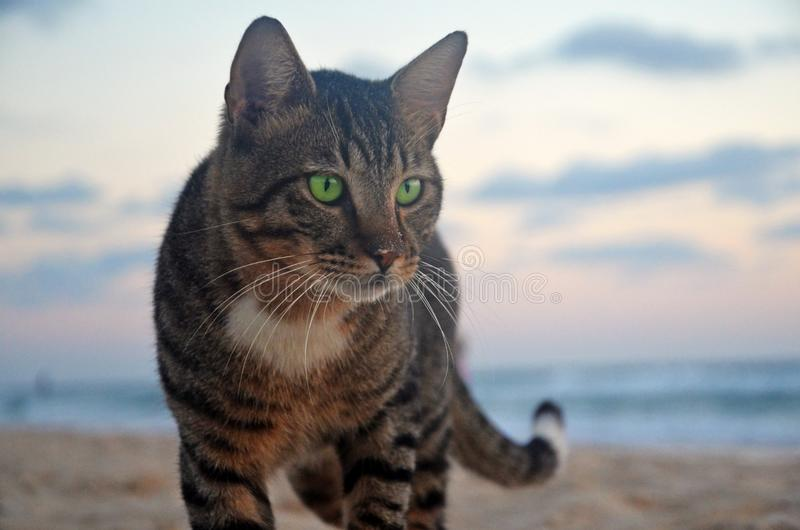 Gato de gato atigrado de ojos verdes orgulloso sin hogar en la playa Amo de la vida, confiado y audaz Crepúsculo en la playa del  imagenes de archivo