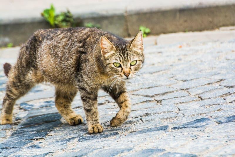 Gato de gato atigrado perdido que camina en Turquía, Giresun fotografía de archivo libre de regalías
