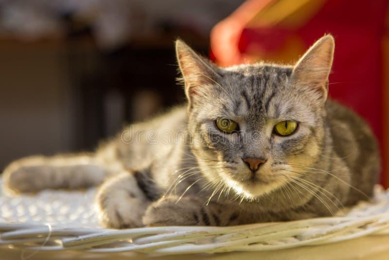 Gato de gato atigrado de plata que pone en la cesta foto de archivo